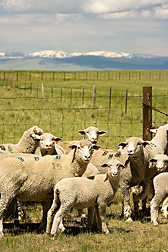 Ewes and lambs on a pasture at the University of Wyoming Livestock Farm in Laramie: Click here for full photo caption.