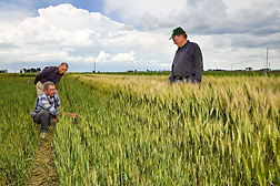 ARS agricultural engineers evaluate the distinct differences in wheat growth at full irrigation (right side) and 40 percent of full irrigation: Click here for full photo caption.