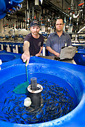 Fish lab manager (left) and ARS geneticist collect rainbow trout fingerlings to evaluate growth rate and resistance to disease: Click here for full photo caption.