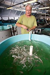 Fish nutritionist feeds juvenile Florida pompano during studies to determine appropriate feeds and feeding-management practiceas for profitable inland production of saltwater fish: Click here for full photo caption.