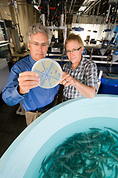 ARS molecular biologist (left) and ARS microbiologist examine a culture of Flavobacterium psychrophilum, a bacterial pathogen of rainbow trout: Click here for full photo caption.