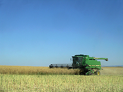Winter canola being harvested in north-central Washington: Click here for photo caption.