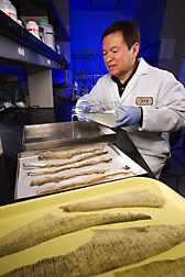 Food engineer pours fish gelatin solution into a pan for drying: Click here for full photo caption.