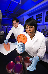 Photo: Food technologist and technician study the effect of smoking temperature on survival of Listeria monocytogenes on smoked salmon. Link to photo information