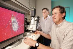 Entomólogo Glen Scoles (en primer plano) diseca una garrapata mientras líder de investigaciones Don Knowles observa el proceso. Enlace a la información en inglés sobre la foto