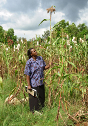Kenyan lines of sorghum show improved growth and yield on field plots with acidic soils outside Moi University in Kenya: Click here for photo caption.