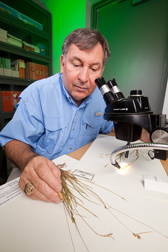 In Stoneville, Mississippi, botanist Charles Bryson uses a dissecting microscope and some herbarium specimens to identify the blue sedge, Carex breviculmis, discovered at a cemetery in Meridian, Mississippi: Click here for photo caption.