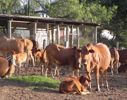 Cattle in an enloseure at the International Livestock Research Institute (ILRI) in Nairobi, Kenya.
