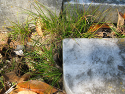 Blue sedge, Carex breviculmis, near a tombstone at a cemetery in Meridian, Mississippi: Click here for photo caption.