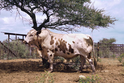 This Nguni bull has been evaluated with the Agricultural Research Council's Animal Improvement Institute performance testing scheme: Click here for full photo caption.