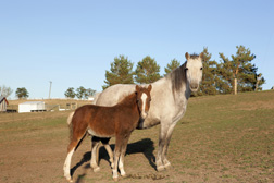 Mare and her foal, part of the research horse herd: Click here for full photo caption.