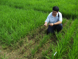 Photo: ARS plant molecular pathologist Yulin Jia looks for signs of rice blast disease in a rice field. 