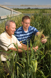Plant pathologist Mike Bonman (left) and molecular biologist Eric Jackson examine wheat plants from the National Small Grains Collection in a stem rust screening plot at Aberdeen, Idaho: Click here for photo caption.