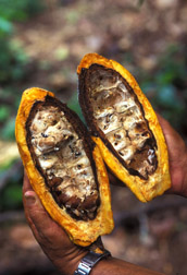 Pathogenic fungi that cause witches' broom on cacao tree limbs and trunks also attack pods, destroying the valuable beans inside: Click here for photo caption.