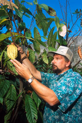 Geneticist Raymond Schnell examines a cacao pod: Click here for photo caption.