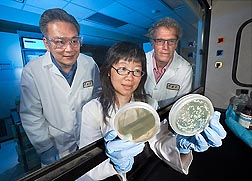 Molecular biologist Jong H. Kim (left), technician Kathleen L. Chan, and entomologist Bruce C. Campbell inspect petri dishes containing pathogenic fungi: Click here for full photo caption.