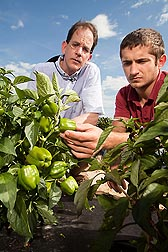 Geneticist John Stommel (left) and technician Mikhail Kozlov examine miniature bell peppers: Click here for full photo caption.