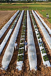 Low tunnels can extend the strawberry growing season and allow ARS scientists to develop cultivars that produce fruit over several months: Click here for photo caption.
