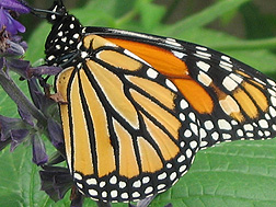A monarch butterfly: Click here for full photo caption.