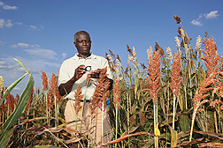 Plant pathologist Louis K. Prom examines sorghum seeds infected by Colletotrichum sublineolum, the cause of sorghum anthracnose: Click here for photo caption.
