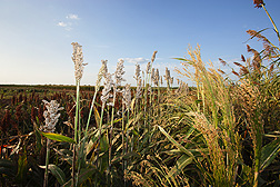 Sorghum lines at College Station, Texas: Click here for full photo caption.