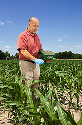 Plant pathologist Hamed Abbas applies the nontoxigenic Aspergillus flavus formulated in bioplastic granules to knee-high corn: Click here for photo caption.