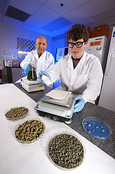 Hamed Abbas and technician Caleb Chambers prepare bioplastic granules for field trials to control aflatoxin in corn: Click here for photo caption.