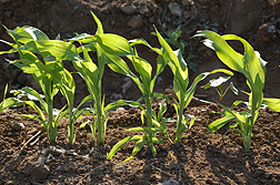 A recombinant inbred line of sorghum: Click here for photo caption.