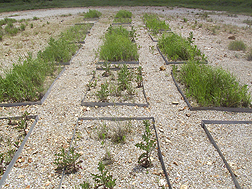 A plot showing varying vegetation that occurred after different levels of beef cattle manure compost amendments: Click here for full photo caption.