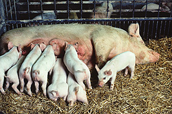 A sow nursing her litter of piglets: Click here for photo caption.