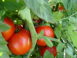 Photo: Tomatoes growing on a vine. Link to photo information