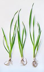 An oat plant.