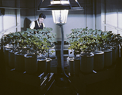 Harry Borthwick examines soybeans under a carbon arc light. Link to photo information