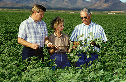 Scientists discuss irrigation needs for a healthy cotton crop. Click here for full photo caption.