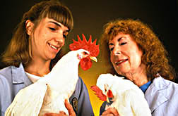 Scientist Marjorie Nichols (right) and technician Melody Lowe examine leghorn chickens of the TK strain for signs of coccidiosis.