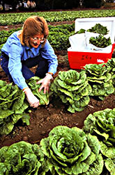 Field research director Sharon Benzen collects romaine lettuce from an IR-4 test plot.