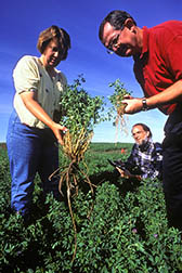 Scientists compare the biomass of an alfalfa plant selected for use in electric power (left) with smaller alfalfa plants bred for use as livestock feed