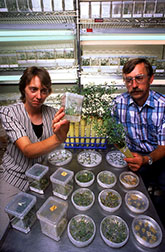Plant physiologist Deborah Samac genetically engineers alfalfa