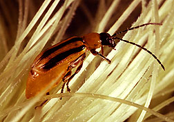 Photo: Adult western corn rootworm searching for pollen on corn silk. Link to photo information