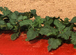 Red mulch protects growing seedlings: Link to photo information
