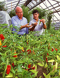 Scientist examine pepper root damage