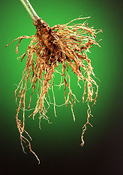 Pepper root infested with nematodesroot