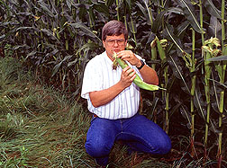 Checking a corn ear for damage