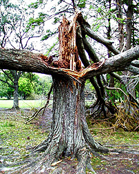 Hurricane Georges split tree weakened by Formosan subterranean termites. [Only a digital file is available for this image; no transparencies or prints.]