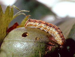 Corn earworm on immature cotton boll.