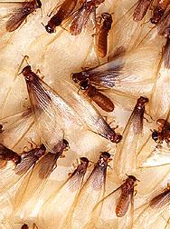 Alates, winged Formosan subterranean termites.