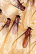 Formosan termite alates