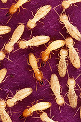 Formosan subterranean termites feast on dyed paper, helping scientists track their whereabouts.
