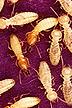 Formosan subterranean termites / workers & soldiers