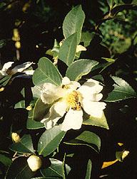 Lu Shan Snow camellia.